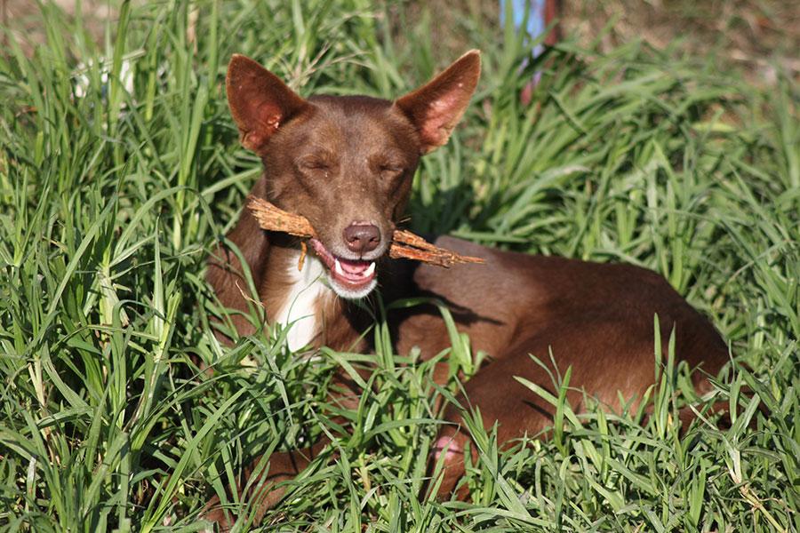 frran podenco para adoptar perros de malaga
