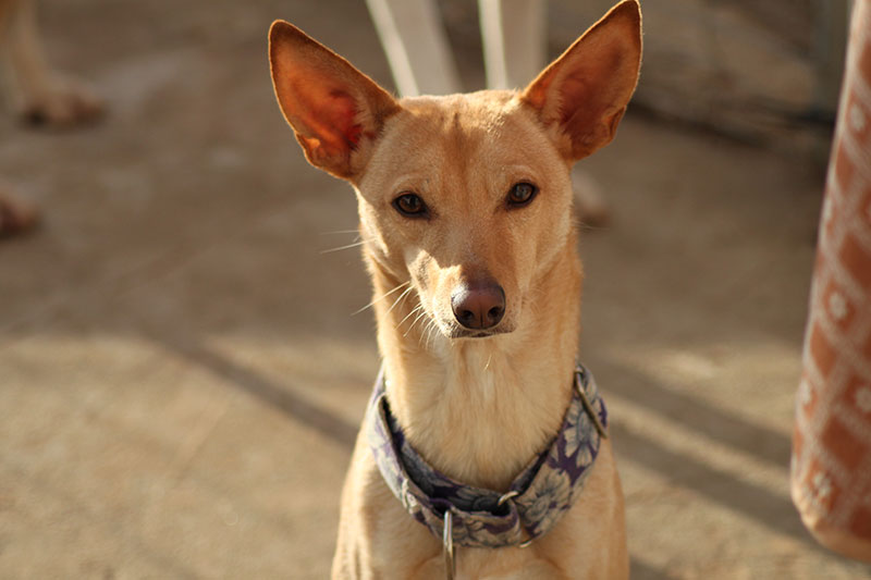 iris perra en adopcion en malaga