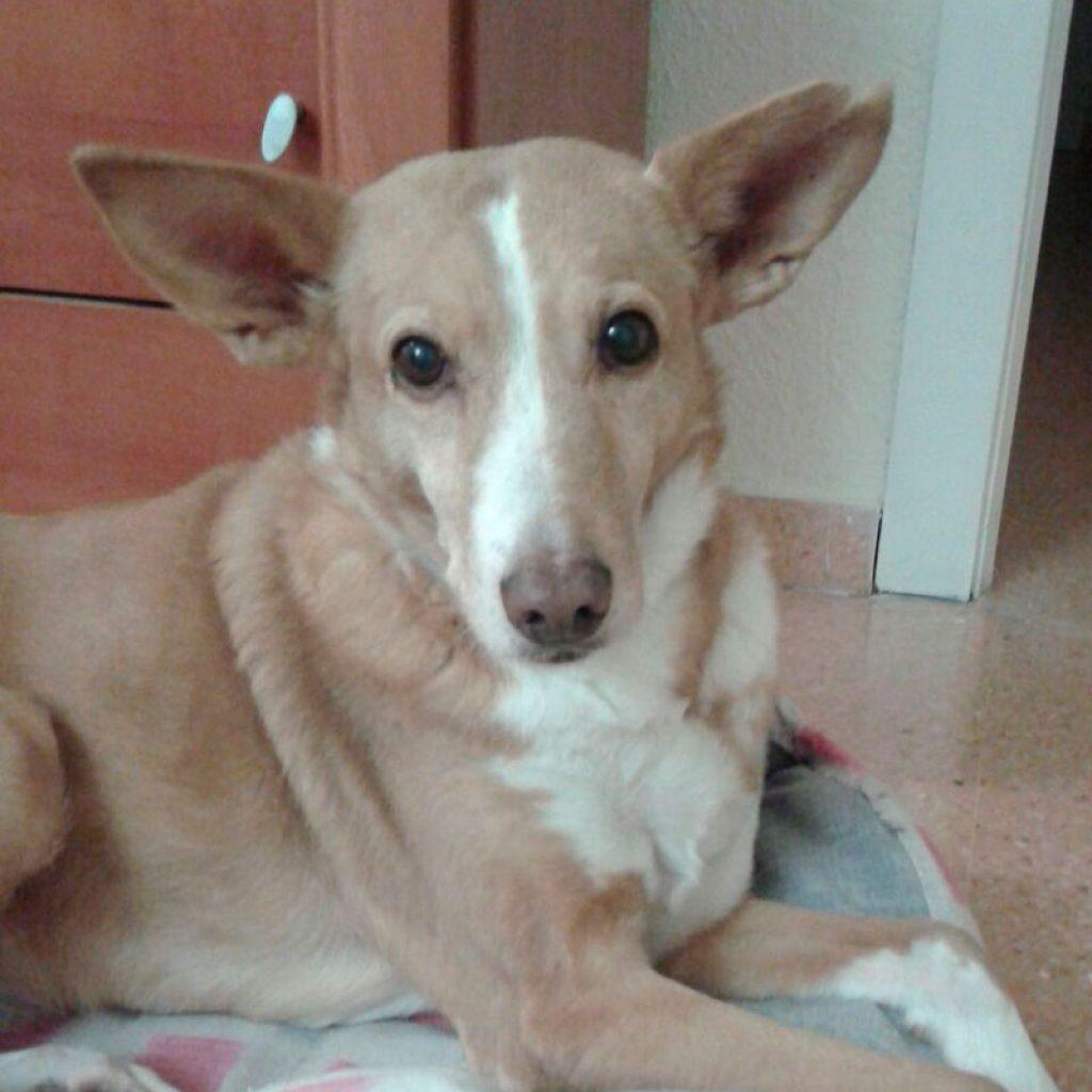tania-perro-en-adopcion-en-malaga
