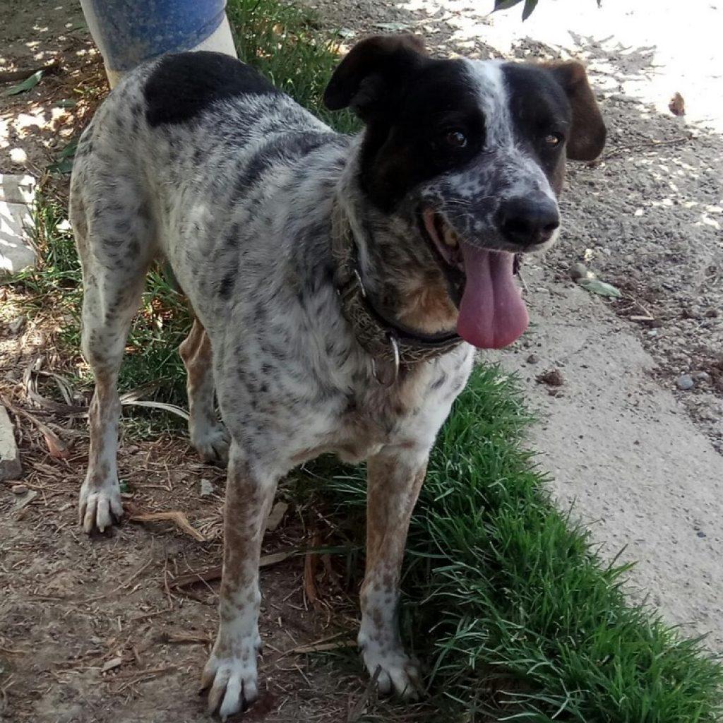 chico es un perro en adopcion en malaga