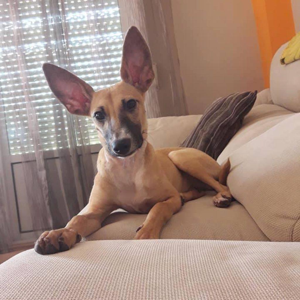 canelo cachorro para adoptar en malaga lasonrisapeluda
