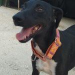 chispi perro para adoptar en malaga
