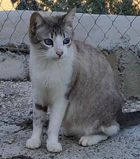 casper gato de ojos azules en adopcion