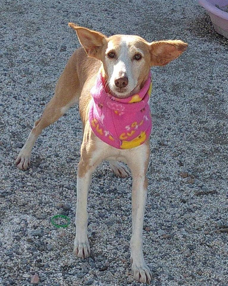 diana perra en adopcion en malaga