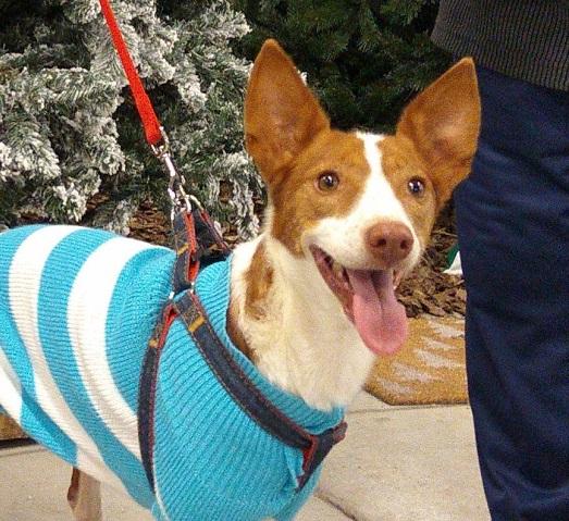 flacky perro que espera ser adoptado miniatura
