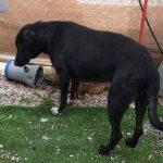 hope perra rescatada y disponible para adoptar