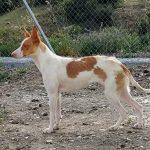 minerva es una perra en adopcion