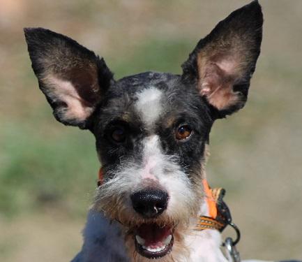 rufo terrier en adopcion